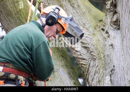 A tree surgeon harnessed to a large tree in a garden cutting off large branches to make ready to fell the whole - Stock Photo