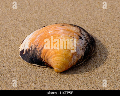 Giant clam sea shell (Arctica islandica, Arcticidae) on the beach near Three Cliffs Bay, Gower Peninsula, South - Stock Photo