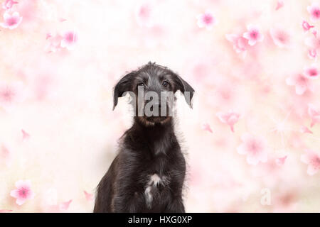 Irish Wolfhound. Puppy (9 weeks old) sitting in front of a floral design wallpaper. Studio picture - Stock Photo