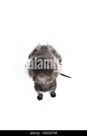 Irish Wolfhound. Puppy (9 weeks old) sitting. Studio picture against a white background. Germany - Stock Photo
