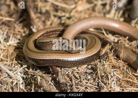 Male and female slow worms (Anguis fragilis) in Surrey, UK - Stock Photo