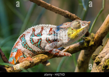 chamelion resting on a twig - Stock Photo
