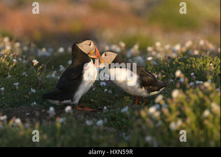 "Atlantic puffin (Fratercula arctica) pair in ""billing"" display, among sea campion flowers. Skomer Island, Pembrokeshire, - Stock Photo"
