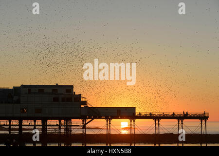 Flock of common starlings (Sturnus vulgaris) flying to roost at sunset, at Aberystwyth pier, Wales. November 2015. - Stock Photo