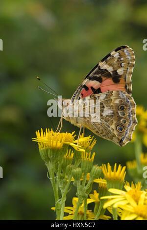 Painted lady butterfly (Cynthia cardui) on ragwort flowers (Senecio jacobea). Essex, England. July. - Stock Photo