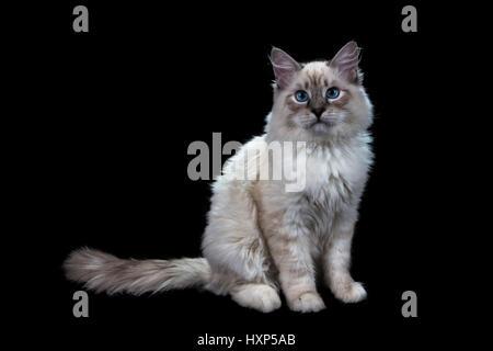 funny little blue-eyed white cat, isolated on black - Stock Photo