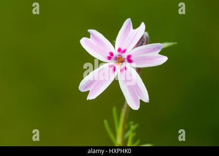 Carpet phlox, phlox subulata, order heather-like (Ericales), family locking herb plants (Polemoniaceae), type phloxes - Stock Photo