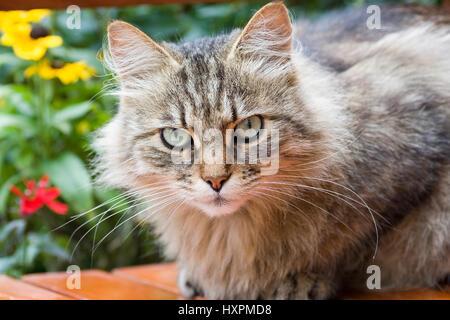 Siberian wood cat, Sibirer, Sibirskaja Koschka, , SibirischeWaldkatze,Sibirer,Sibirskaja Koschka - Stock Photo