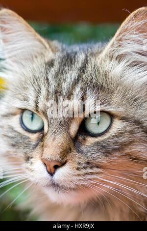 Siberian forest cat, Sibirische Waldkatze - Stock Photo
