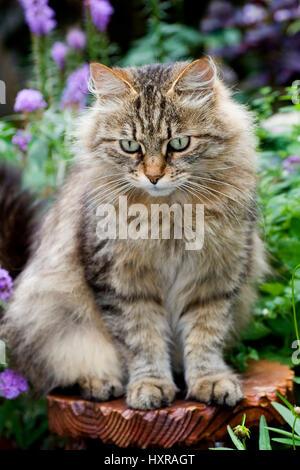 Siberian forest cat, Sibirischer Waldkater - Stock Photo