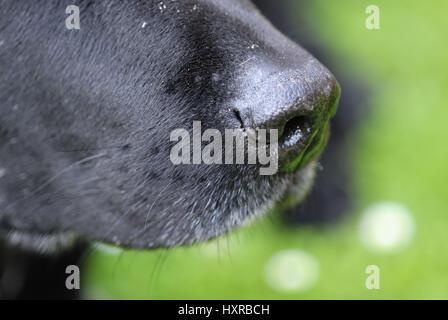 Nose of a Labrador, Nase eines Labradors - Stock Photo
