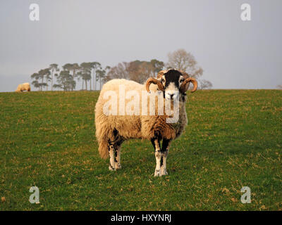 fine Swaledale ram or tup with large curly horns on farm in Cumbria with skyline and trees in background - Stock Photo