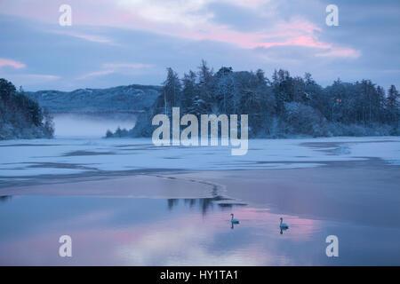 Mute swan (Cygnus olor) pair on water at sunset. Loch Insh, Cairngorms National Park, Highlands, Scotland UK, December. - Stock Photo