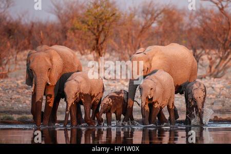 African elephants (Loxodonta africana) drinking at sunset. Etosha National Park, Namibia. - Stock Photo