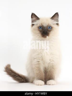 Ragdoll kitten, 10 weeks, sitting. - Stock Photo