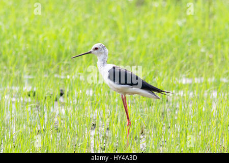 A juvenile Black-winged Stilt (Himantopu himantopus) standing in a field of young rice in central Thailand - Stock Photo