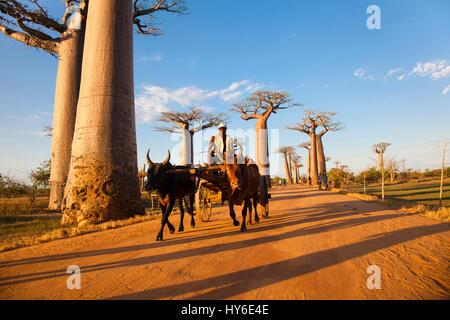 Zebu Cart at Avenue of the Baobabs near Morondava, Baobab Alley, Adansonia grandidieri, Western Madagascar, by Monika - Stock Photo