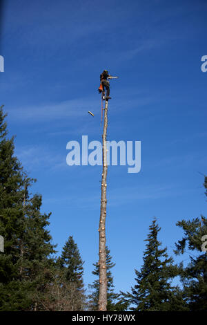 logger harnessed at the top of a Douglas fir tree - Stock Photo