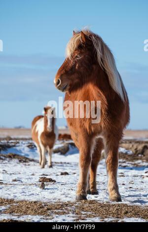 Pony horses standing in winter - Stock Photo