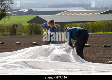 Burscough, Lancashire, UK. UK Weather. 3rd April, 2017. Sunny with light winds enable newly planted crops to be - Stock Photo