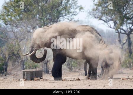 African Elephant (Loxodonta africana) bull, taking dust bath, Kruger national park, South Africa. - Stock Photo