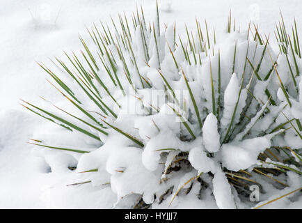 Yucca plant, springtime snow in the Rocky Mountains near Salida, Colorado, USA - Stock Photo