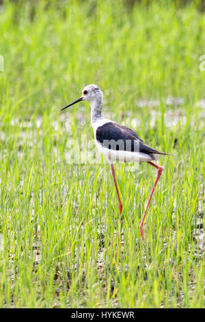 A juvenile Black-winged Stilt (Himantopu himantopus) walking in a field of young rice in central Thailand - Stock Photo