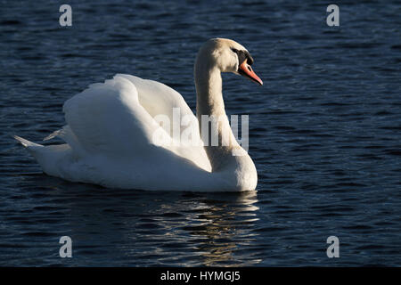 a swan on a lake - Stock Photo