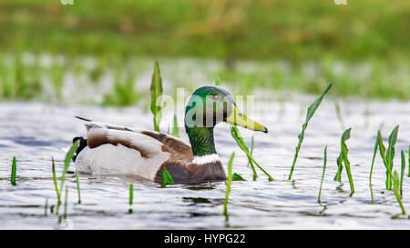 Mallard / wild duck (Anas platyrhynchos) male / drake swimming in pond - Stock Photo