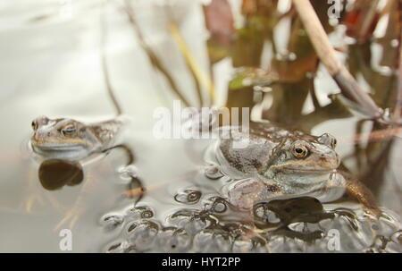European common frogs (rana temporaria) spawning in an urban garden pond, Derbyshire, England - March - Stock Photo
