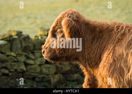 Close-up profile of the head and neck of sunlit, shaggy, red Highland cattle calf in a farm field. 1 tiny sprouting - Stock Photo