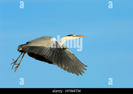 Single Grey Heron, Ardea cinerea, Flying with Background of Clear Blue Sky - Stock Photo
