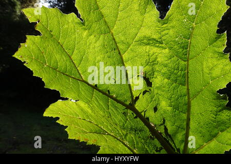 Close up of beautiful Patagonian tree leaf - Stock Photo