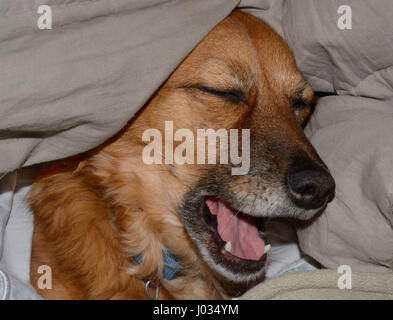 Mixed breed brown dog yawning after nap under the covers - Stock Photo