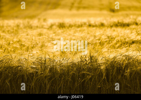 Barley field in golden glow of evening sun - Stock Photo