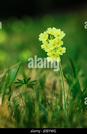 Mountain Primula veris with bright yellow flowers - Stock Photo