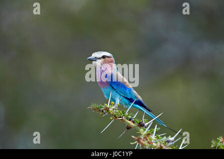 Lilac-breasted roller (Coracias caudata), Selous Game Reserve, Tanzania - Stock Photo