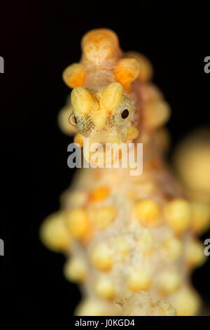 Bargibanti Pygmy Seahorse, Hippocampus bargibanti, Bali, Indonesia - Stock Photo