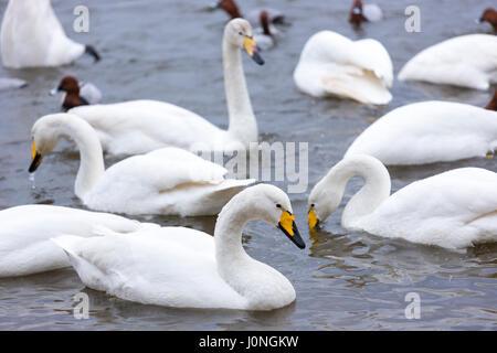 Group of Whooper Swan, Cygnus cygnus, at Welney Wetland Centre, Norfolk, UK - Stock Photo
