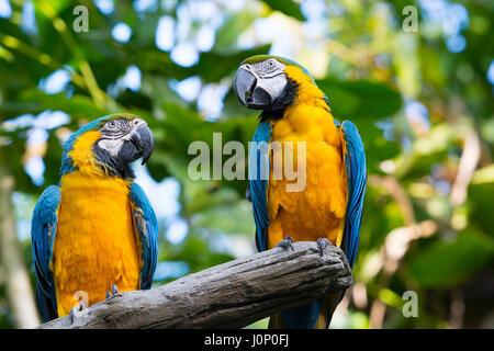 Macaw Parrots, Blue and Yellow Gold Ara Ararauna, Birds - Stock Photo
