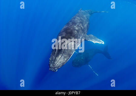 Humpback Whale, Courtship Behavior, Megaptera novaeangliae, Hawaii, USA - Stock Photo