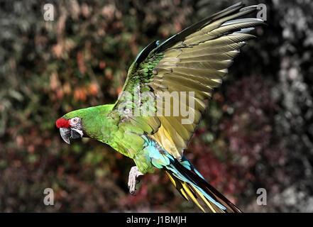 South American Military macaw (Ara militaris) in flight - Stock Photo