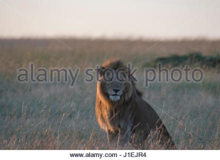 Sunlit male lion, Panthera leo, sitting in the dry grass. - Stock Photo
