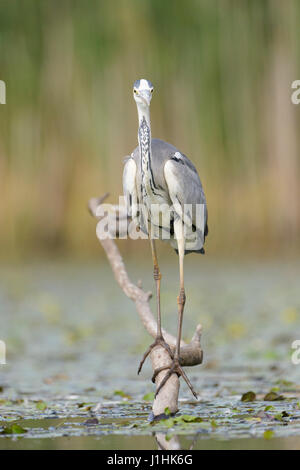 Grey Heron (Ardea herodias) hunting fish in water, Hortobagy national park, Hungary. - Stock Photo