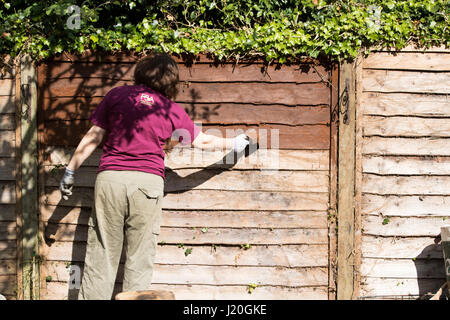 Woman painting wood stain onto Garden fence - Stock Photo
