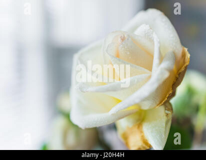 Side macro closeup of large wet white rose with rain dew drops - Stock Photo