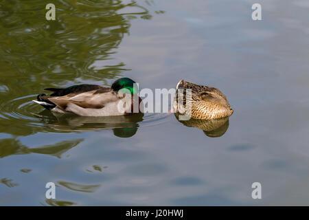 Mallard. Anas platyrhynchos (Anatidae)  resting on Abington Park Lake, Northampton. - Stock Photo