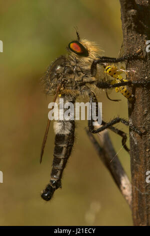 Robber fly, Aarey Milk Colony , INDIA. The robber fly family, also called assassin flies. They are powerfully built, - Stock Photo