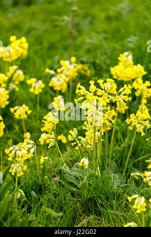 Pretty, delicate yellow cowslips (Primula veris) growing, flowering in grass in the spring in the Cotswolds, Gloucestershire, - Stock Photo