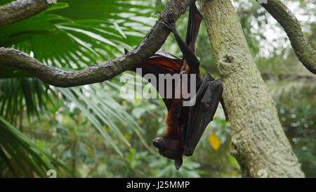 Male Bat. Megabat. Fruit Bat. flying fox. Pteropus vampyrus - Stock Photo